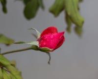 Entre todas as rosas, o mais bonito do jardim Foto de Stock