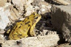 Entre una rana y un lugar duro Imagenes de archivo