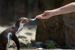 Entregue a alimentação de um pinguim de Humboldt com um peixe imagens de stock