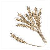 Entregue as orelhas do trigo do desenho isoladas em um fundo branco Imagens de Stock