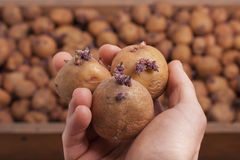 Três batatas Foto de Stock