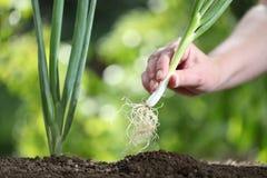 Entregue a cebola da mola da colheita no jardim vegetal, fim acima Fotografia de Stock