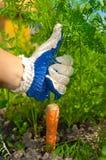 Entregue cenouras da terra arrendada Fotos de Stock Royalty Free