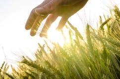 Entregue el campo de trigo Imágenes de archivo libres de regalías