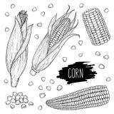 Entregue espigas de milho e o grupo isolados tirados da grão imagem de stock