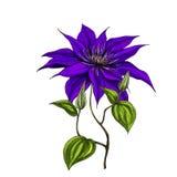 Entregue a flor selvagem tirada do campo no fundo branco Ilustração botânica ilustração stock