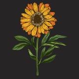 Entregue a flor tirada da margarida com haste e as folhas isoladas no fundo preto Ilustração botânica ilustração royalty free