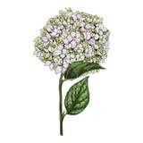 Entregue flores e as folhas tiradas do flox do Eustoma no fundo branco Ilustração botânica ilustração royalty free
