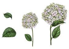 Entregue flores e as folhas tiradas do flox do Eustoma no fundo branco Ilustração botânica Elementos do projeto gráfico ilustração do vetor