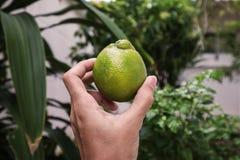 Entregue guardar o limão tailandês verde gigante cultivado em casa orgânico Fotos de Stock Royalty Free