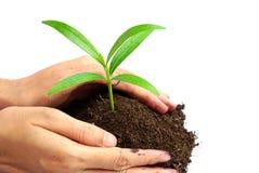 Entregue guardar a planta verde no solo isolado no fundo branco Foto de Stock Royalty Free