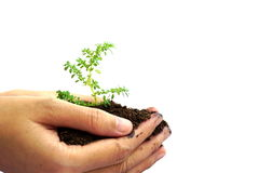 Entregue guardar a planta verde no solo isolado no fundo branco Fotografia de Stock Royalty Free