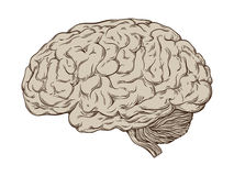 Entregue a linha tirada cérebro humano anatomicamente correto de arte Ilustração isolada do vetor Foto de Stock