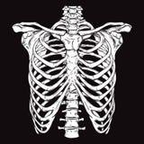 Entregue a linha tirada ribcage humano anatomicamente correto da arte Imagens de Stock Royalty Free