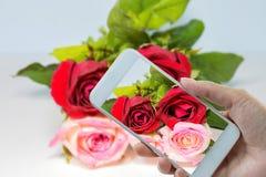 Entregue manter o telefone esperto em rosas vermelho ao rosa Imagem de Stock Royalty Free