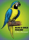 Entregue o desenho do pássaro da arara do azul e do ouro Foto de Stock