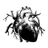 Entregue o esboço tirado do coração anatômico no monochrome isolado no fundo branco Desenho detalhado do estilo do bloco xilográf ilustração royalty free