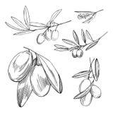 Entregue o ramo de oliveira desenhado Ilustração do esboço do vetor Imagens de Stock Royalty Free