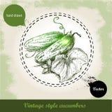 Entregue pepinos inteiros frescos tirados com folha e flor Vegetal orgânico do eco do estilo do esboço do vintage Fotos de Stock Royalty Free