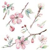 Entregue ramos de árvore da maçã e flores tirados, árvore de florescência Foto de Stock Royalty Free