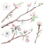 Entregue ramos de árvore da maçã e flores tirados, árvore de florescência Imagem de Stock Royalty Free
