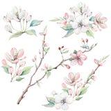 Entregue ramos de árvore da maçã e flores tirados, árvore de florescência Fotos de Stock