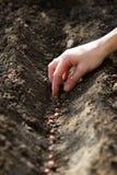 Entregue sementes da sementeira das ervilhas à cama de flor Fotos de Stock