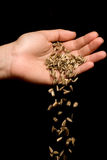 Entregue sementes de girassol listradas deixando cair Fotografia de Stock
