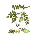 Entregue a soja tirada do esboço, grão-de-bico, feijão, planta de lentilha Ilustração do vetor ilustração do vetor