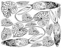 Entregue tirado da raiz do Wasabi, igualmente sabido como o armorácio japonês ilustração royalty free