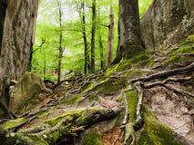 Entrelazamiento de Mazing de las raíces de árboles grandes Fotos de archivo libres de regalías