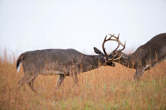 entrenamiento Blanco-atado de los dólares de los ciervos Fotos de archivo libres de regalías