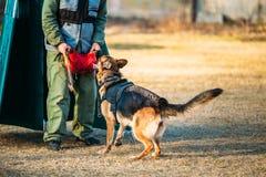 Entrenamiento de Dog del pastor alemán Foto de archivo libre de regalías