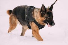 Entrenamiento de Dog Walking During del pastor alemán Estación del invierno Entrenamiento Fotografía de archivo libre de regalías