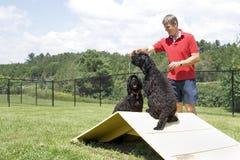Entrenamiento de la agilidad - perros de agua portugueses Foto de archivo