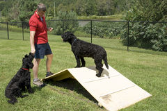 Entrenamiento de la agilidad - perros de agua portugueses Imágenes de archivo libres de regalías