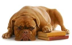 Entrenamiento de la obediencia del perro Fotografía de archivo libre de regalías