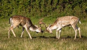Entrenamiento de los dólares de los ciervos en barbecho Imagen de archivo libre de regalías