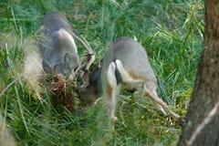 Entrenamiento de los dólares de los ciervos mula Foto de archivo libre de regalías