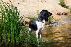 Entrenamiento de un perro de caza en el agua Foto de archivo libre de regalías