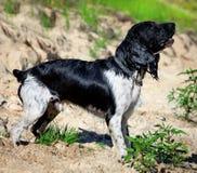 Entrenamiento de un perro de caza en el agua Imagenes de archivo