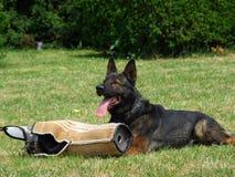 Entrenamiento de un perro de policía Fotografía de archivo libre de regalías