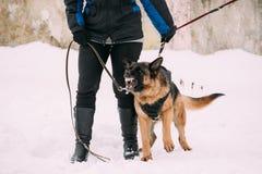 Entrenamiento del Alsatian criado en línea pura Wolf Dog de Adult Dog Or del pastor alemán Foto de archivo