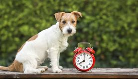 Entrenamiento del animal doméstico - perrito feliz lindo que se sienta cerca de un despertador fotografía de archivo
