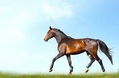 Entrenamiento del caballo de bahía en verano Imágenes de archivo libres de regalías