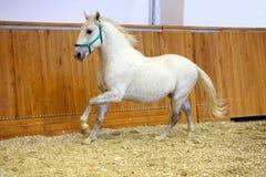 Entrenamiento del caballo de Lipizzaner en pasillo vacío del montar a caballo Fotografía de archivo
