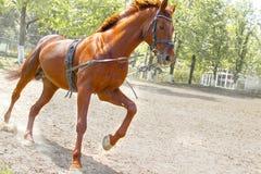 Entrenamiento del caballo en el entrenamiento diario antes del campeonato Fotografía de archivo libre de regalías