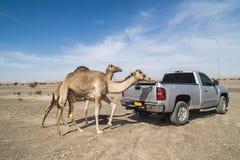 Entrenamiento del camello imagen de archivo