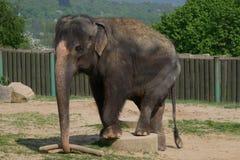 Entrenamiento del elefante en parque zoológico foto de archivo