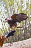 Entrenamiento del halcón Fotografía de archivo